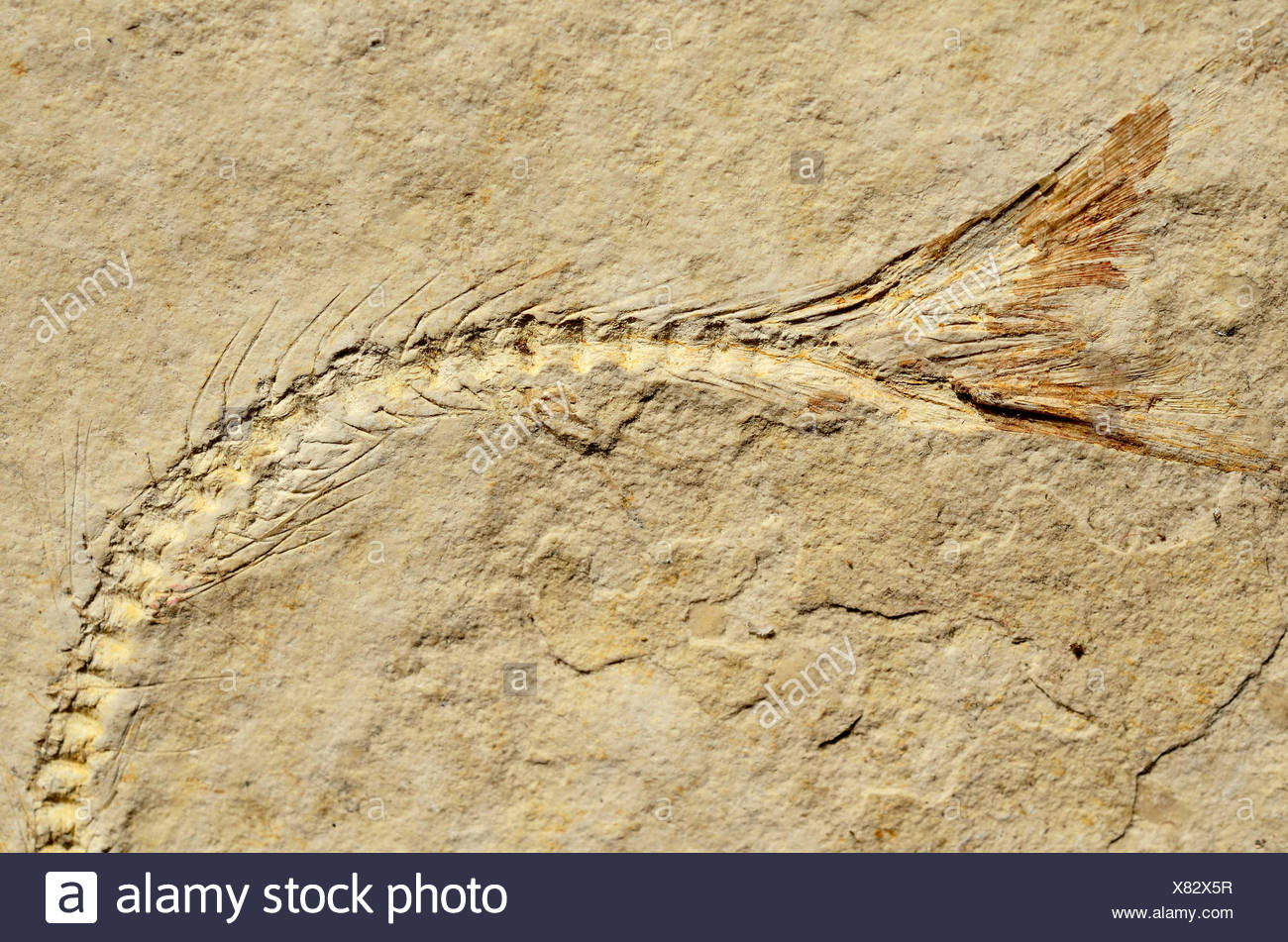 Fossil of a herring-related fish (Anaesthanion angustus), Upper Jurassic, around 150 million years Solnhofen Plattenkalk - Stock Image