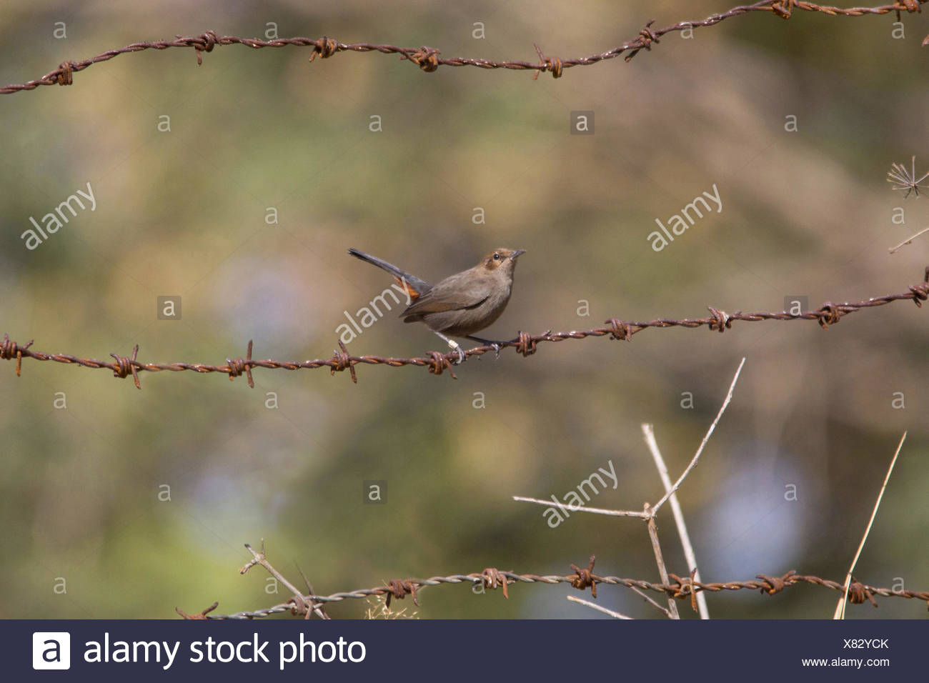 The Indian robin (Saxicoloides fulicatus) is a species of bird in the Muscicapidae family. Widespread in the Indian subcontinent - Stock Image