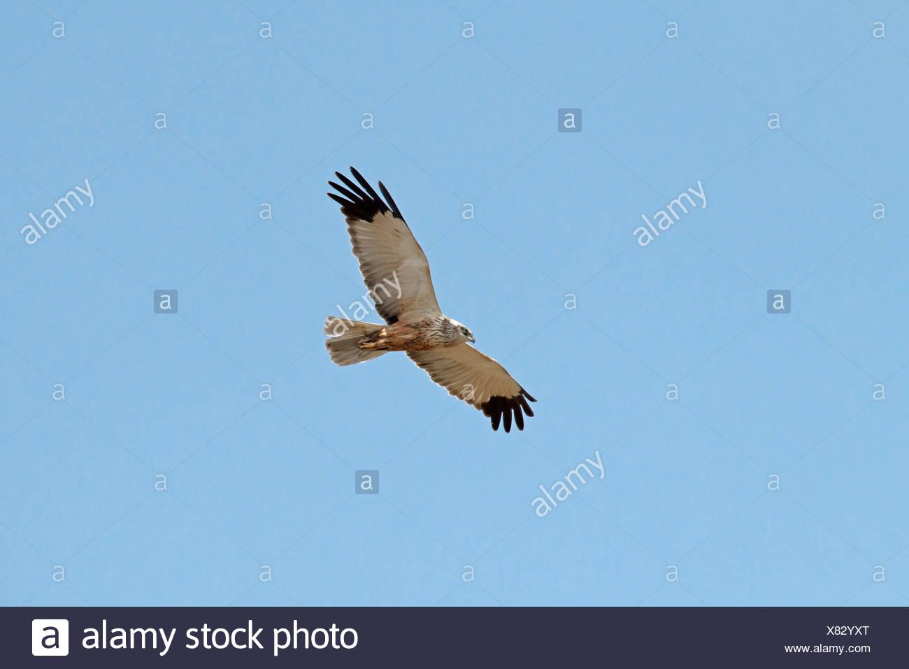 Marsh Harrier Circus aeruginosus - Male Stock Photo