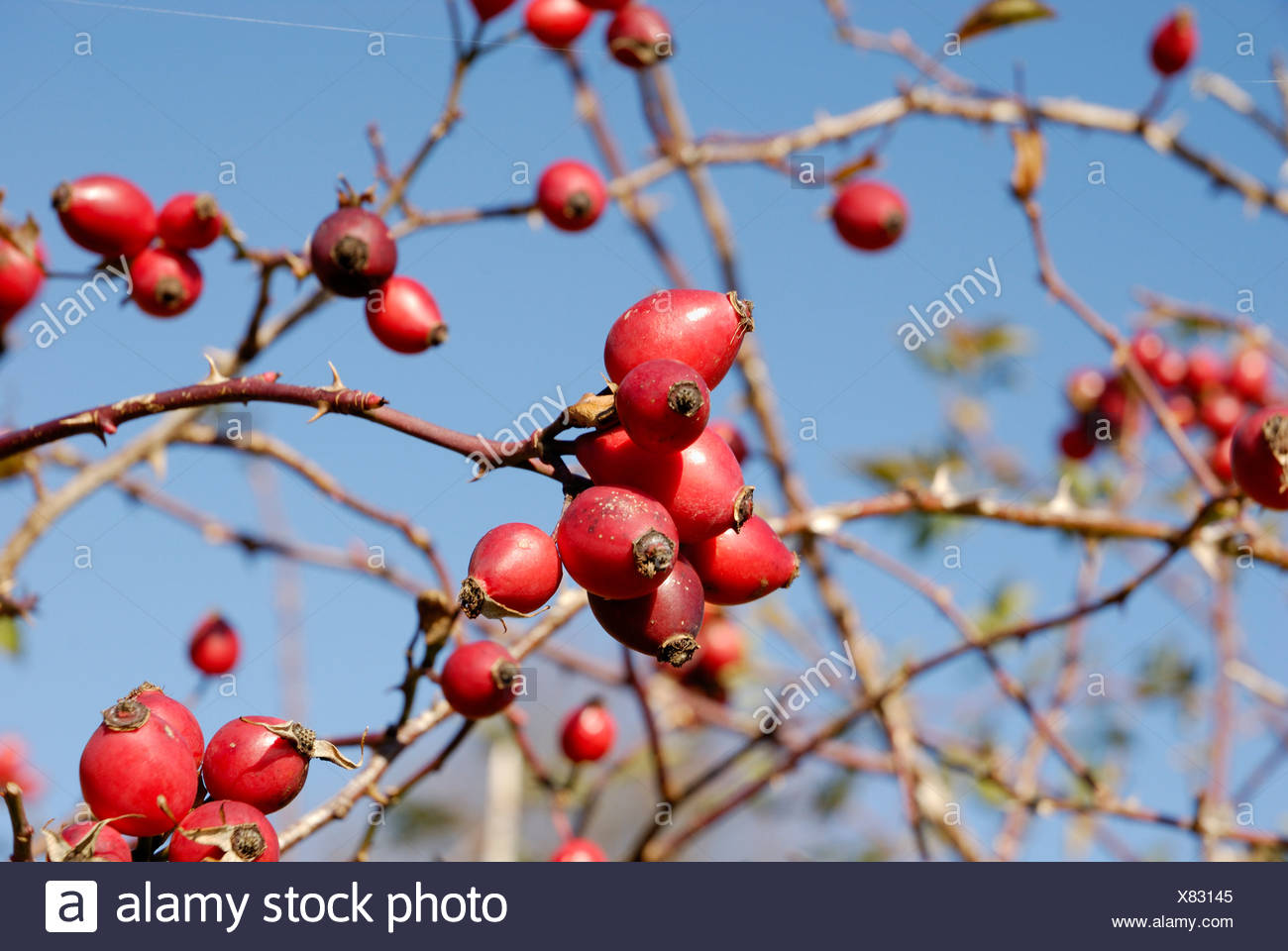 Deep red fruits of Rosa canina Rosaceae - Stock Image