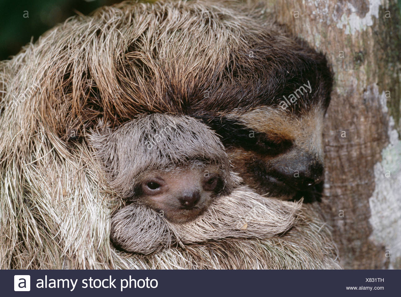 Brown-throated three-toed sloth and young, Barro Colorado, Panama - Stock Image