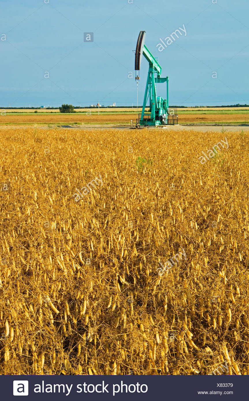 Agriculture - Field of harvest ready dry peas with an oil well pumpjack in the background / near Arcola, Saskatchewan, Canada. - Stock Image