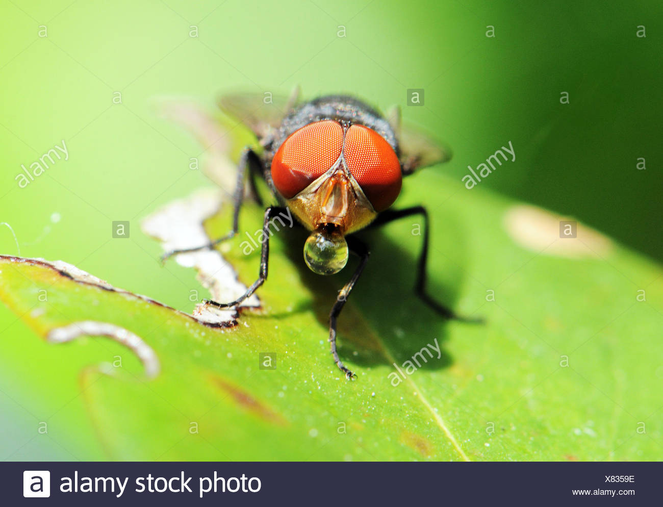 Fly on a leaf blowing a bubble, Okinawa, Japan - Stock Image