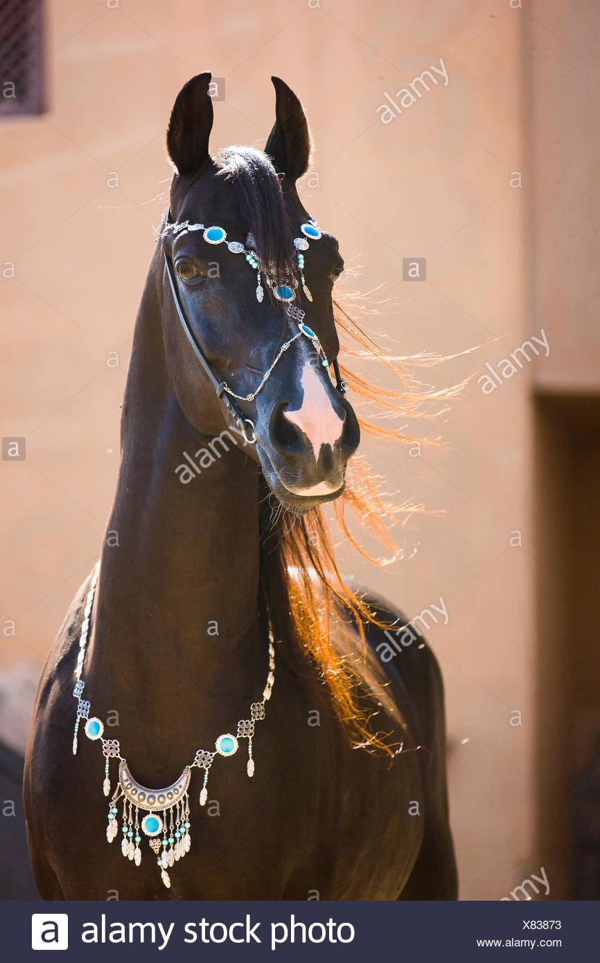 Arabian Horse Portrait Of Black Stallion With Traditional Halter Egypt Stock Photo Alamy
