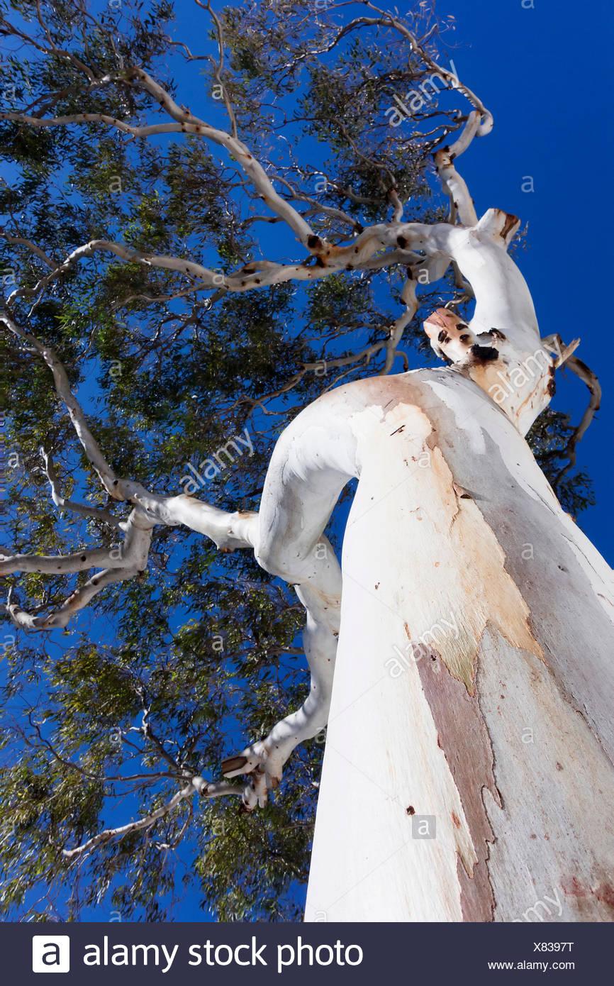 Eucalyptus, Eucalyptus globulus, Silver subject. - Stock Image