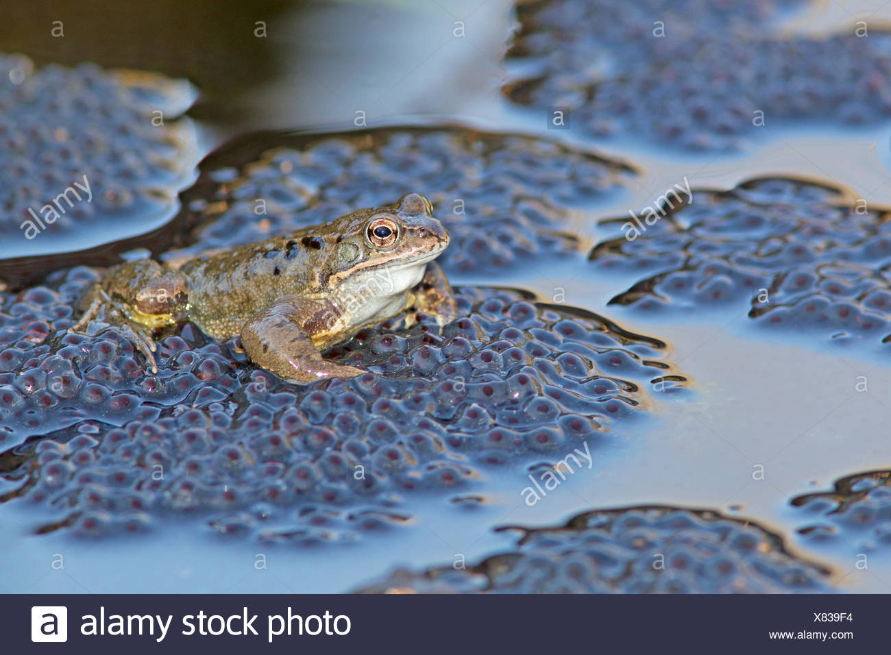 common frog male on top of frog spawn during mating Stock Photo