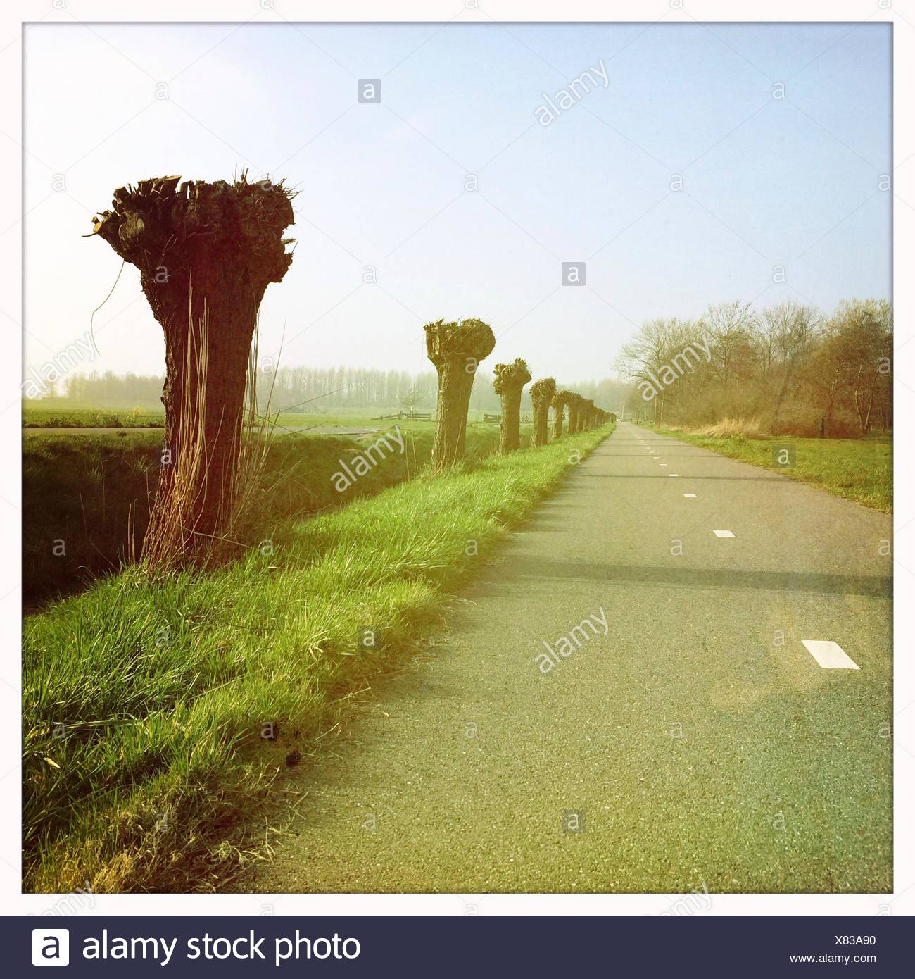Road with pruned Pollard willows in the countryside. - Stock Image