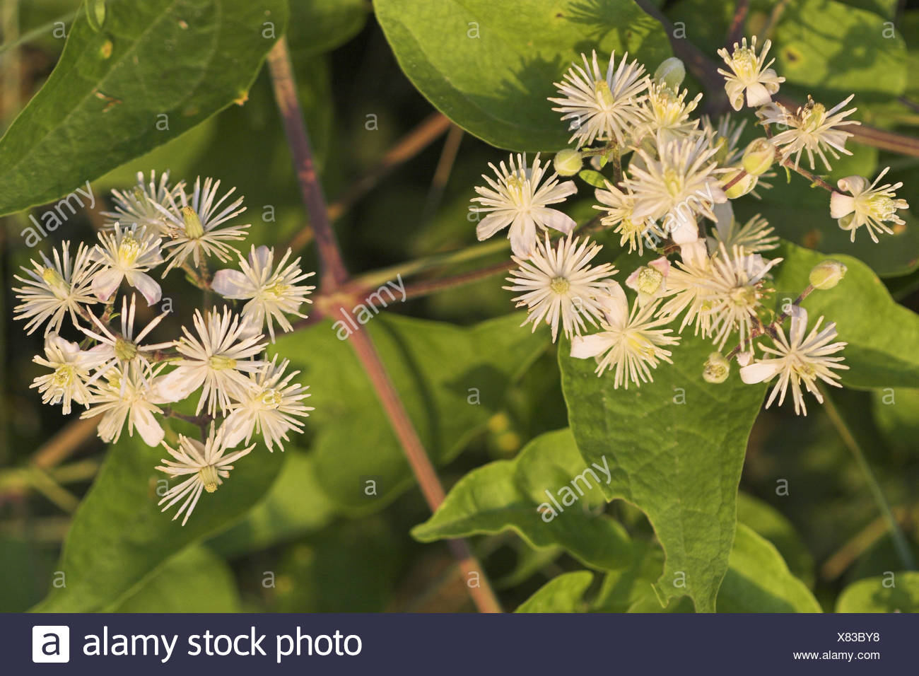 travelers-joy (Clematis vitalba), flowering, France, Provence - Stock Image