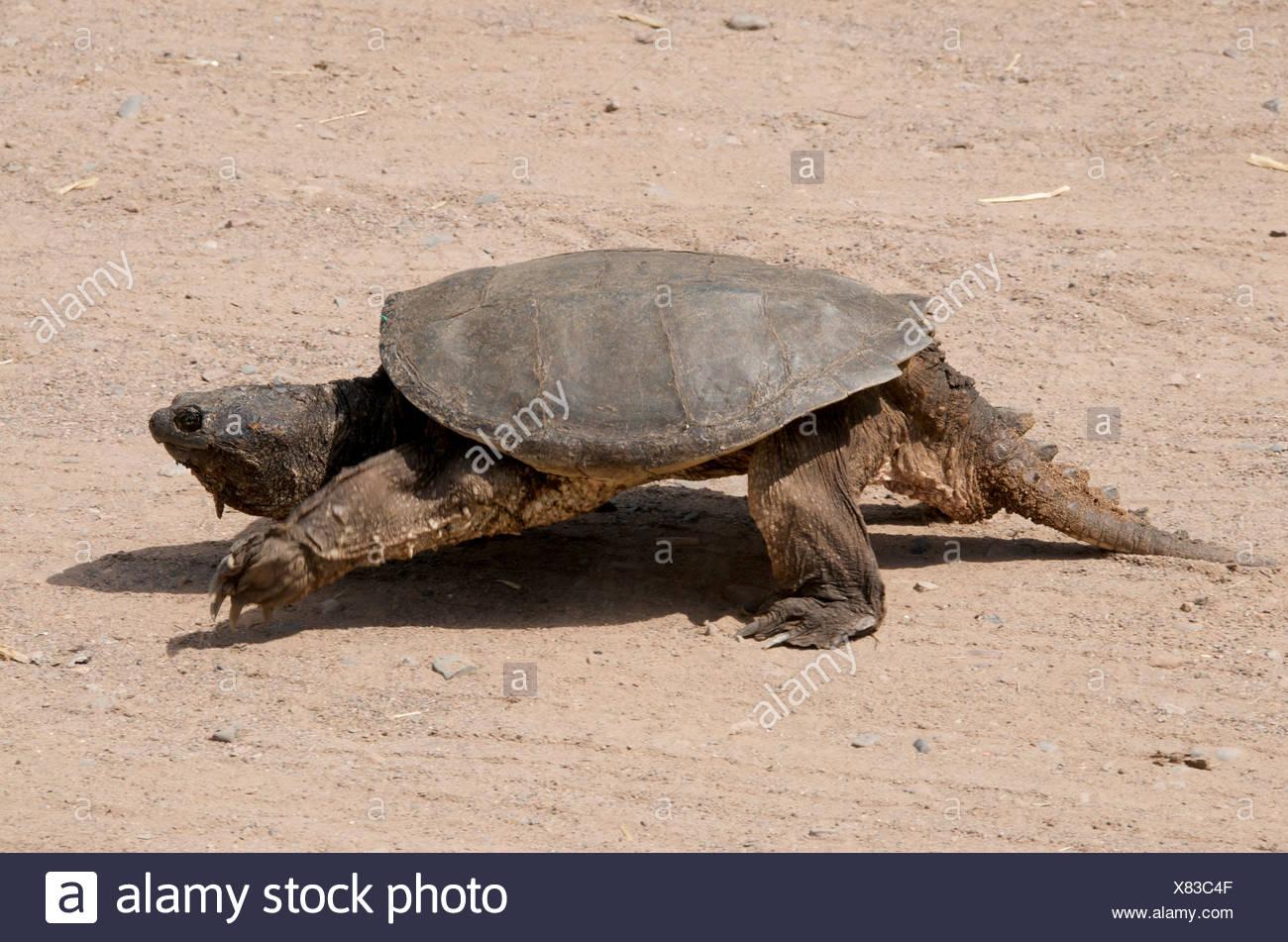 Walking Alligator Snapping Turtle (Macrochelys temminckii) Sandstone, Minnesota, North America, U.S.A. Stock Photo