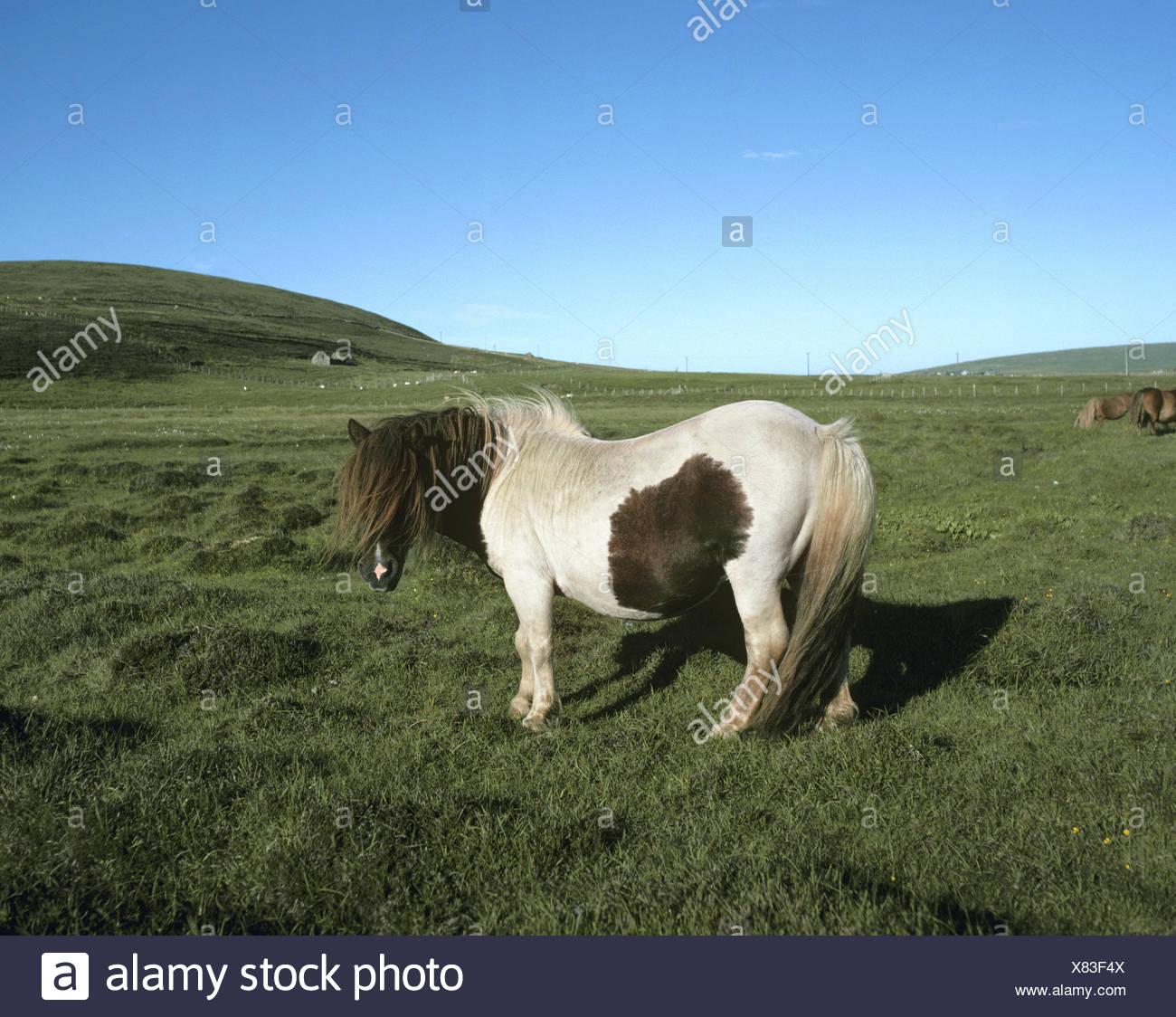Shetland Pony - Equus ferus caballus - Stock Image