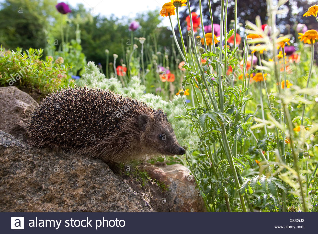 Western hedgehog, European hedgehog (Erinaceus europaeus), in the garden, Germany - Stock Image