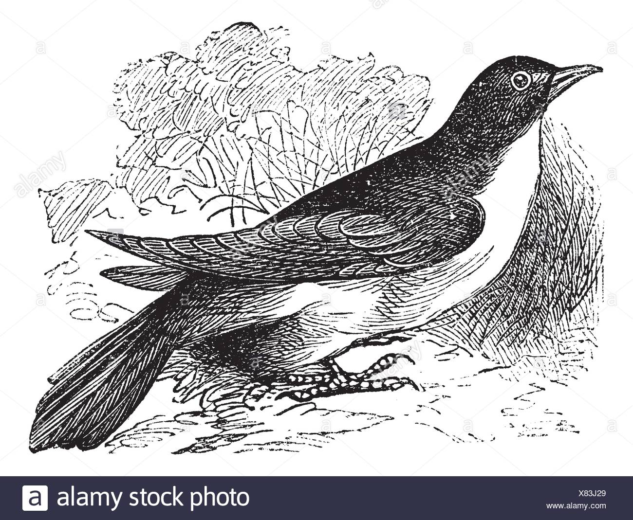 Yellow-billed Cuckoo or Rain Crow or Storm Crow or Coccyzus americanus, vintage engraving  Old engraved illustration of a Yellow-billed Cuckoo - Stock Image