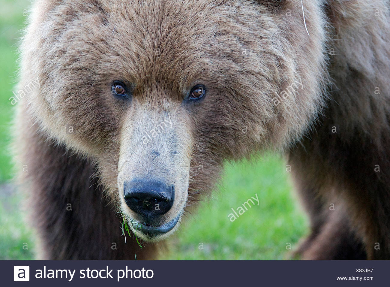 The eyes of a grizzly bear unsure of its surroundings. - Stock Image