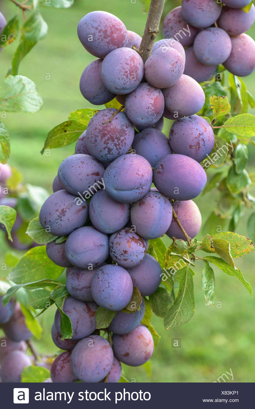 European plum (Prunus domestica 'President', Prunus domestica President), Plums on a tree, cultivar President - Stock Image