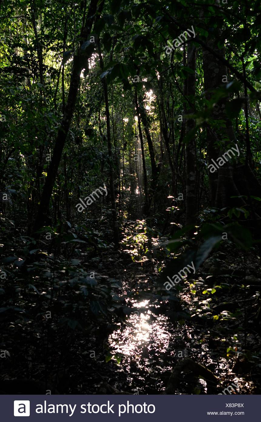 Sunlight filters through primary forest in Corcovado National Park. - Stock Image