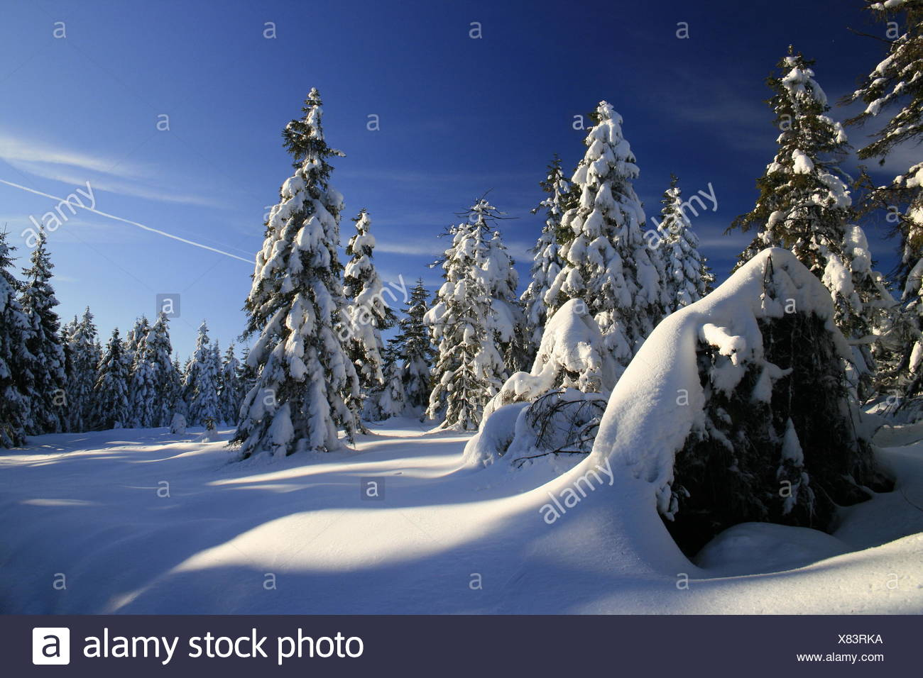winter resin firs - Stock Image