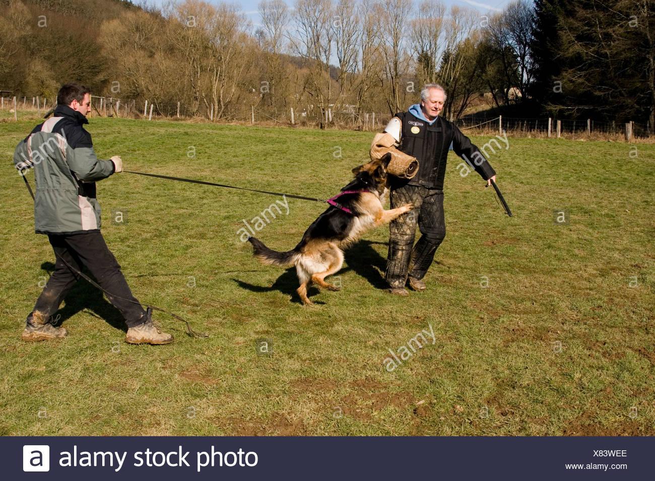 Two men training a German shepherd dog in protective behavior in Daun, Vulkaneifel, Germany, Europe - Stock Image