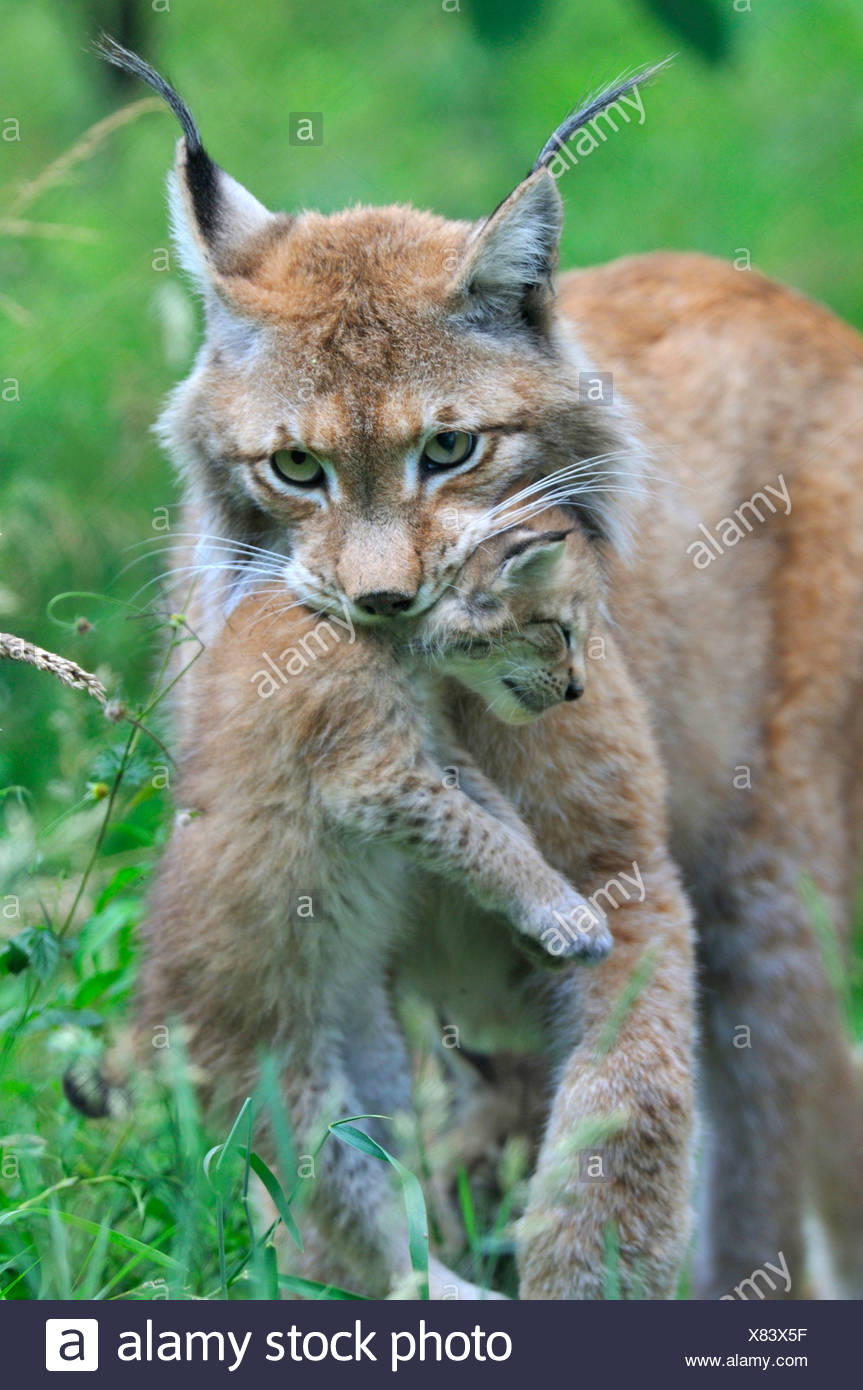 Eurasian lynx (Lynx lynx), mother carrying a juvenile in the mouth Stock Photo