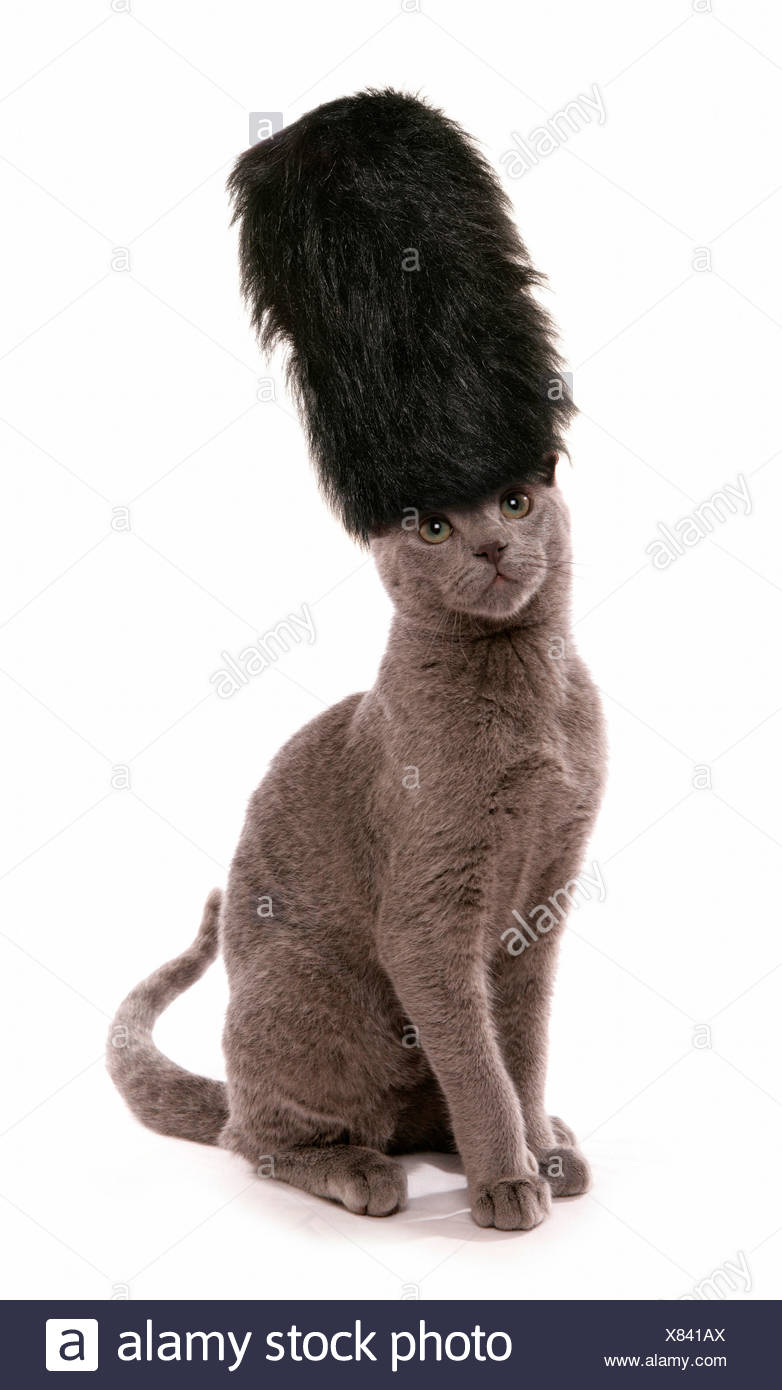 d115c3651ed3a Russian Blue. Kitten wearing London guards bearskin hat. Studio picture  against a white background