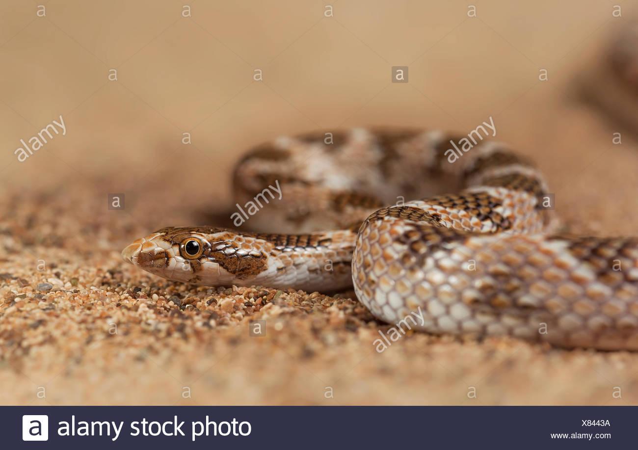 Awl-headed snake (Lytorhynchus diadema), Sharjah, UAE - Stock Image