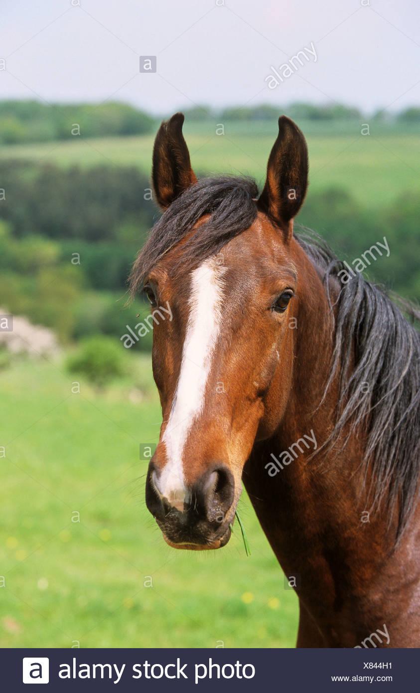 Polo Horse Stock Photos  U0026 Polo Horse Stock Images