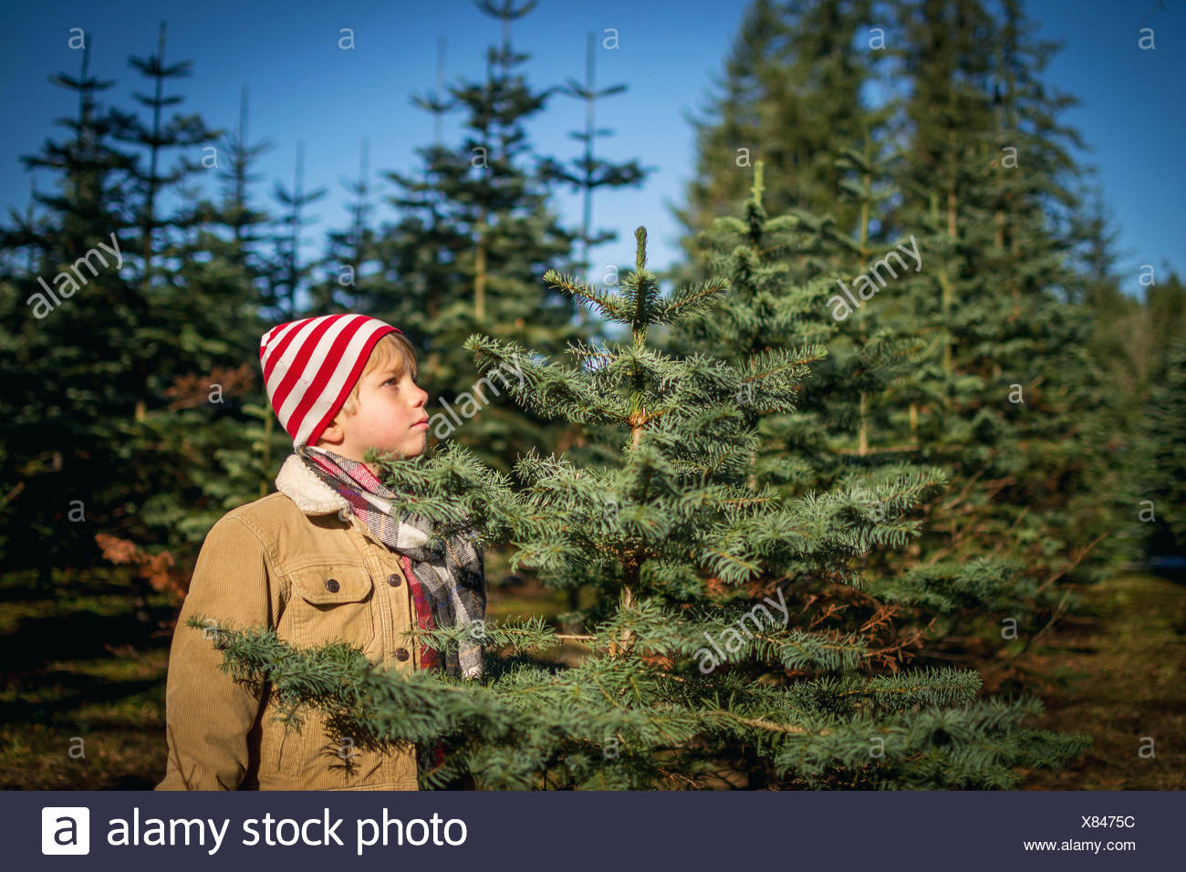 Young boy Choosing christmas tree at a farm - Stock Image