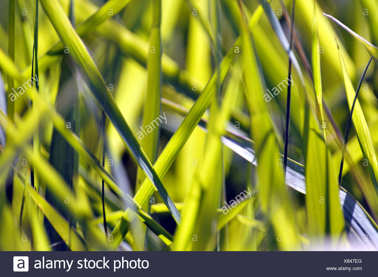 grass blades suffused with light - Stock Image