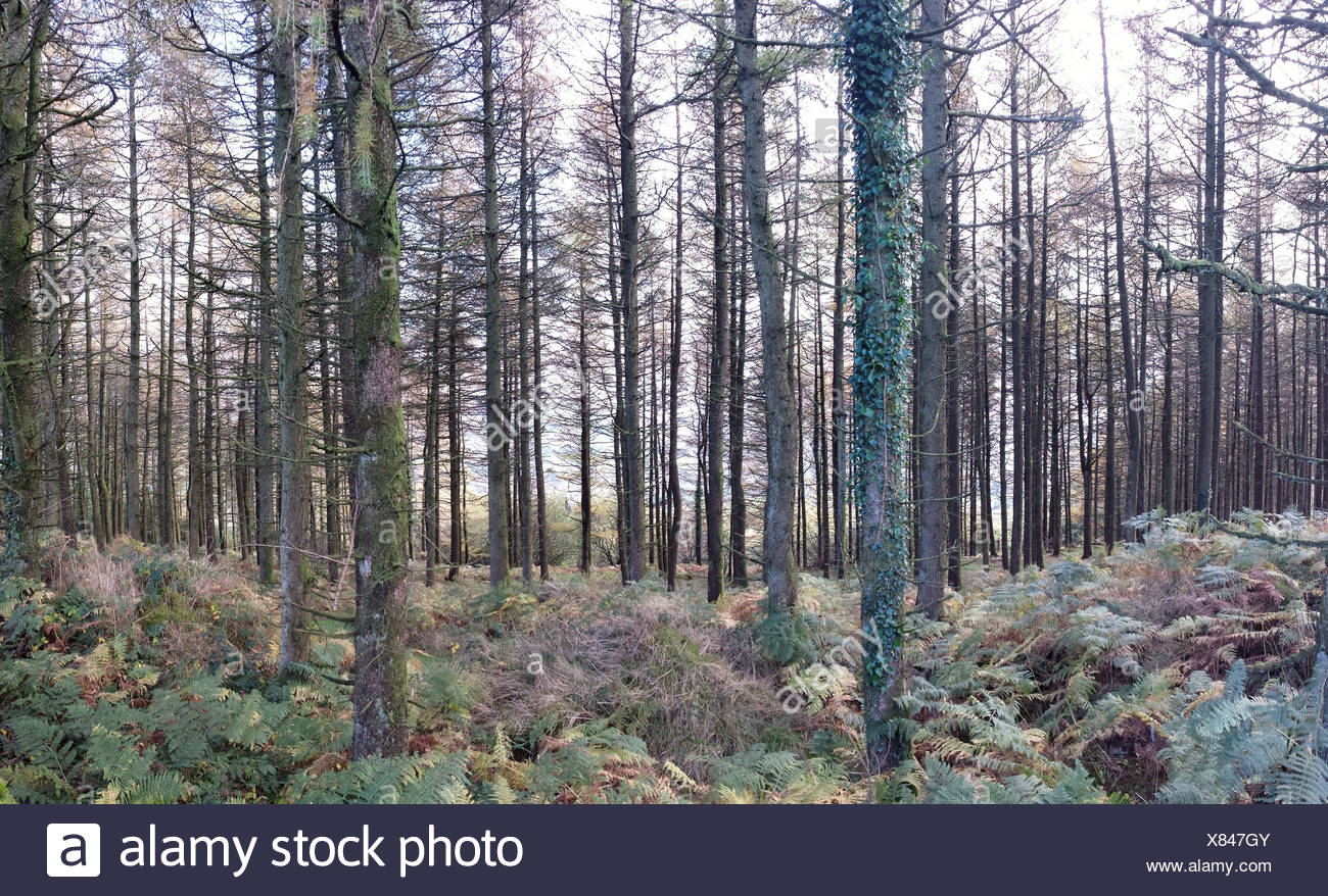 Abundant Ferns In Coniferous Forest - Stock Image