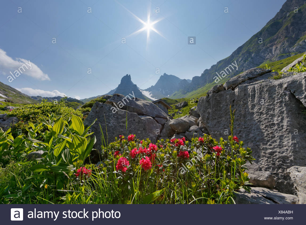 Hairy Alpenrose (Rhododendron hirsutum), Upper Laguz Alps, Rote Wand Mountain, Großes Walsertal Biosphere Park, Vorarlberg - Stock Image