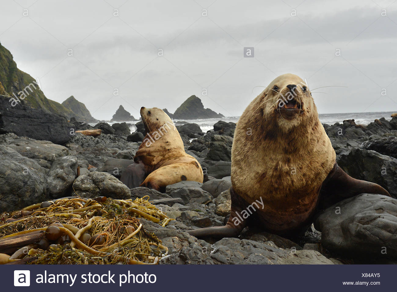 Two Steller sea lions, Eumetopias jubatus, lying on a rocky shore. - Stock Image