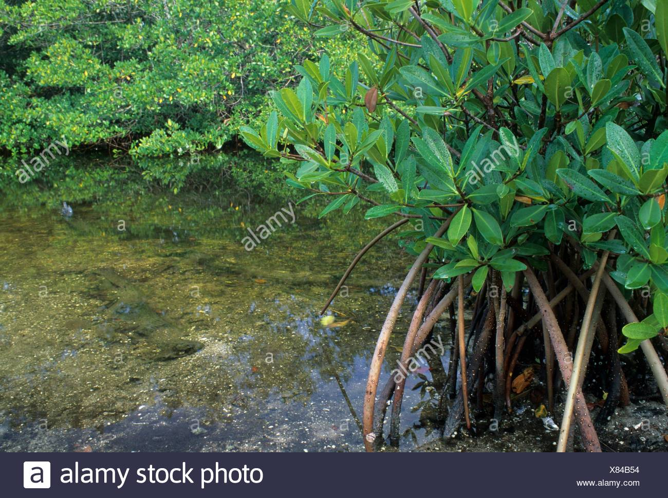 Red mangrove, JN Ding Darling National Wildlife Refuge, Florida. - Stock Image