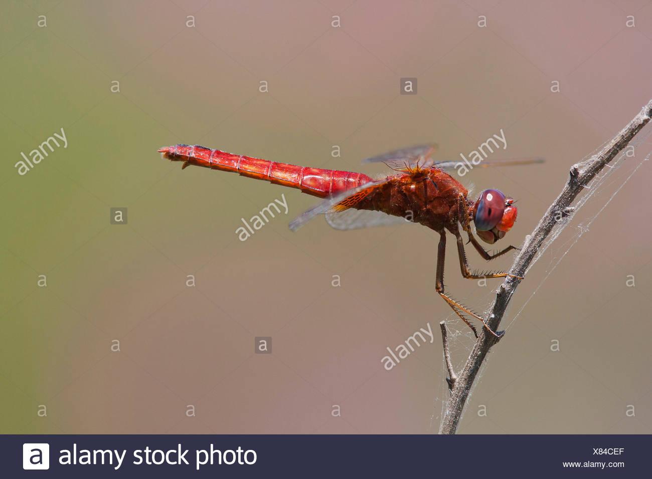Broad Scarlet, Common Scarlet-darter, Scarlet Darter, Scarlet Dragonfly (Crocothemis erythraea, Croccothemis erythraea), at a stem, Turkey, Anatolia, Lycia Stock Photo