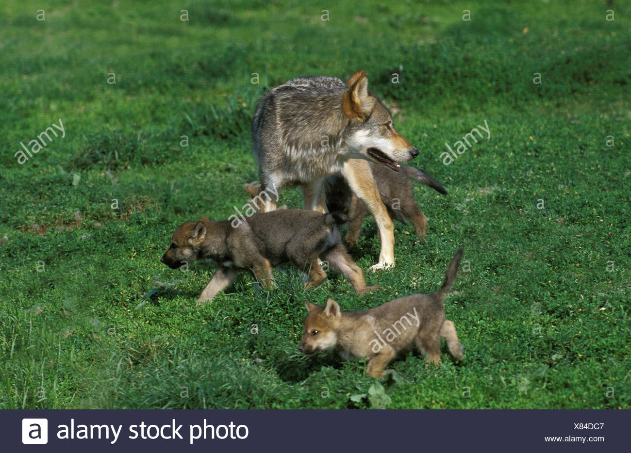 Wolf, canis lupus, mother animal with boys, Stock Photo