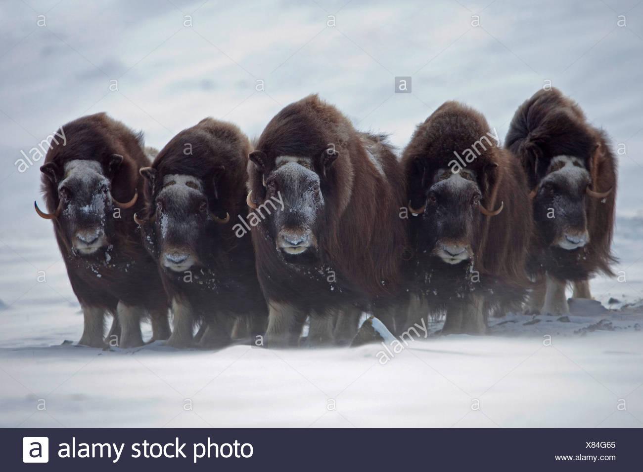 muskox (Ovibos moschatus), herd at stormy weather , Norway, Dovrefjell Sunndalsfjella National Park - Stock Image