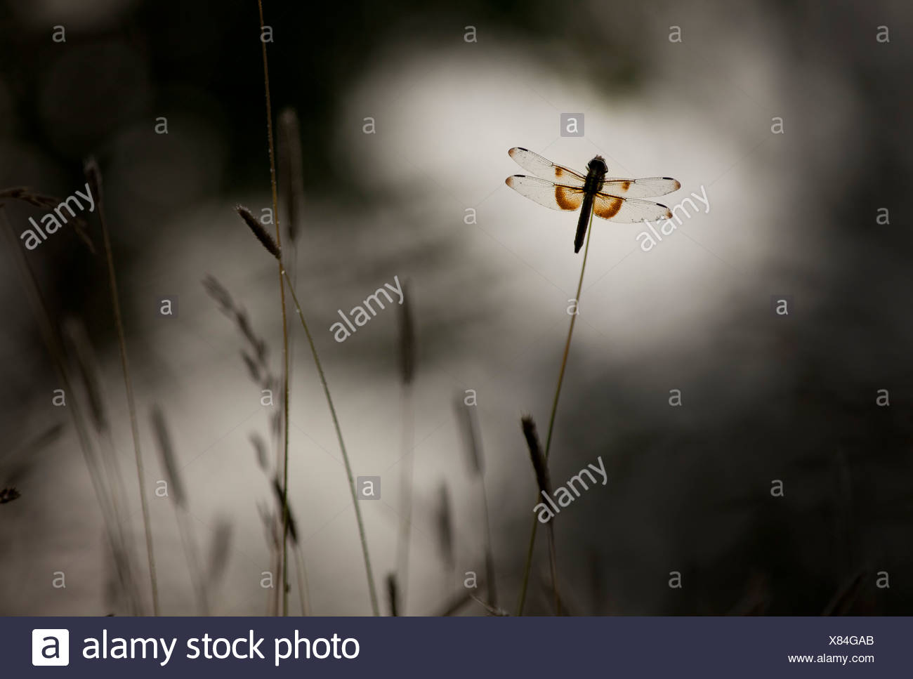 A Widow Skimmer dragonfly's wings stand out amidst the mute colors of a pre-dawn morning. (Libellula luctuosa) - Stock Image