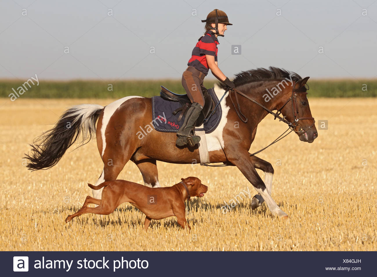 Ingelheim, Germany, girl rides on a pony, accompanied by her dog for a mown field - Stock Image