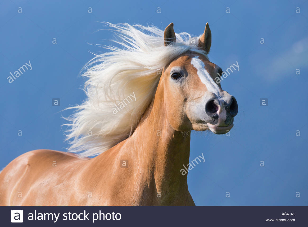 Haflinger Horse Portrait of mare mane flowing South Tyrol Italy - Stock Image