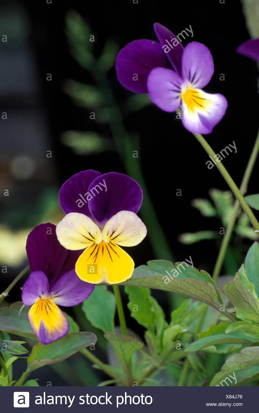 Close-up of mauve+yellow perennials violas - Stock Image