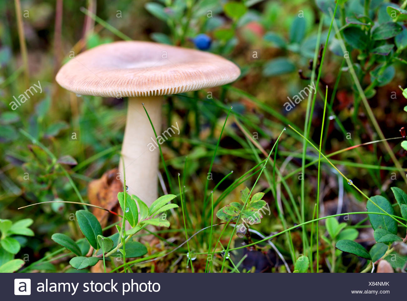 close-up of russula mushroom on russian kola peninsula - Stock Image