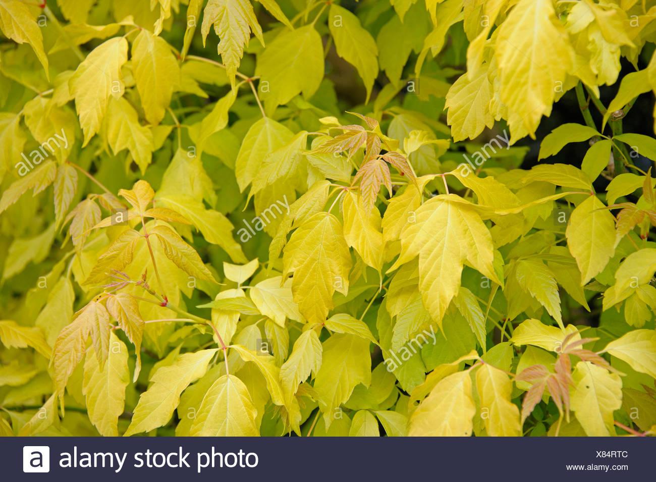 ashleaf maple, box elder (Acer negundo 'Odessanum', Acer negundo Odessanum), cultivar Odessanum - Stock Image