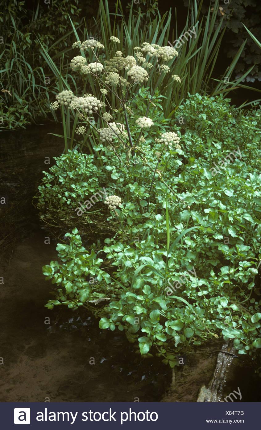 Lesser water parsnip Berula erecta in a stream close to watercress plants Stock Photo