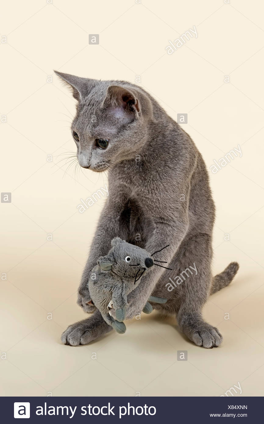 Russian Blue kitten, 20 weeks, with soft toy mouse Stock Photo