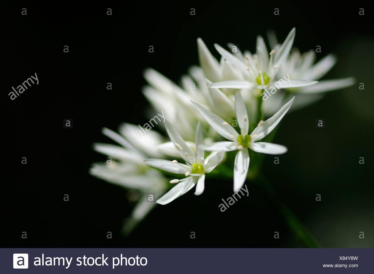 Ramson (Allium ursinum), umbel-shaped inflorescence Stock Photo