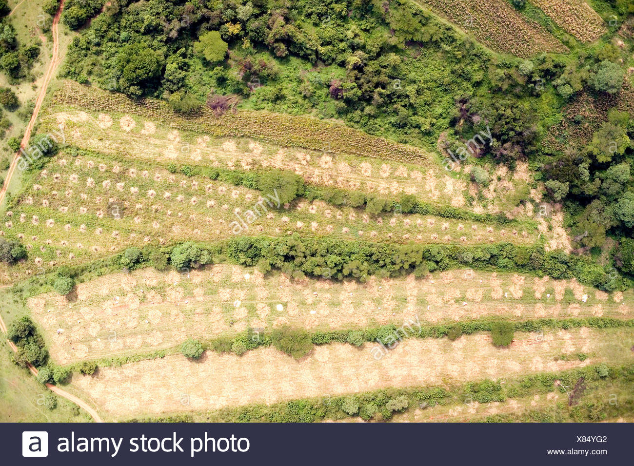 Mais is hand harvested just west of Eldoret in the Rift Valley. Stock Photo