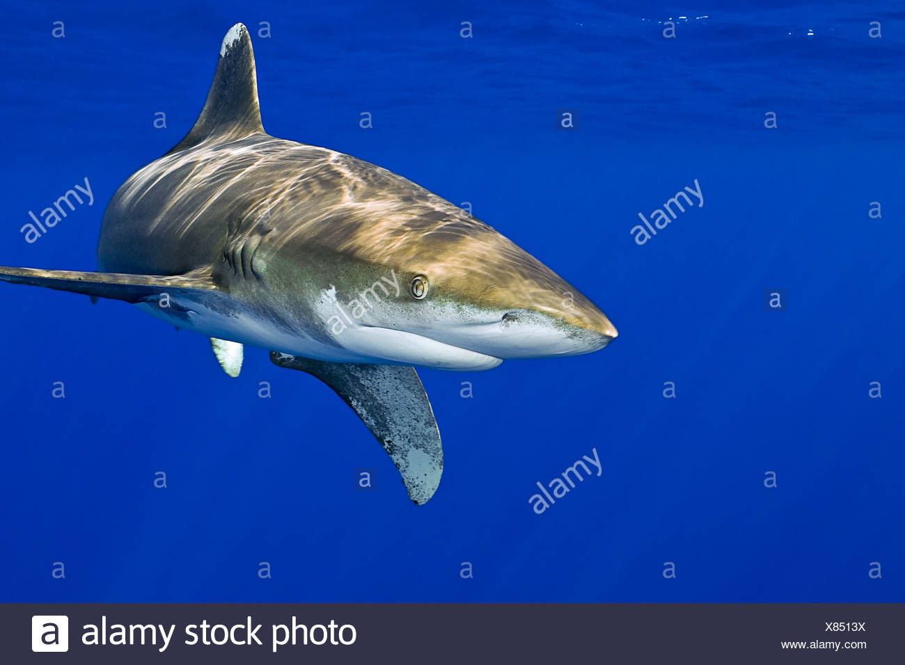 Oceanic Whitetip Shark, Carcharhinus longimanus, Kona Coast, Big Island, Hawaii, USA Stock Photo