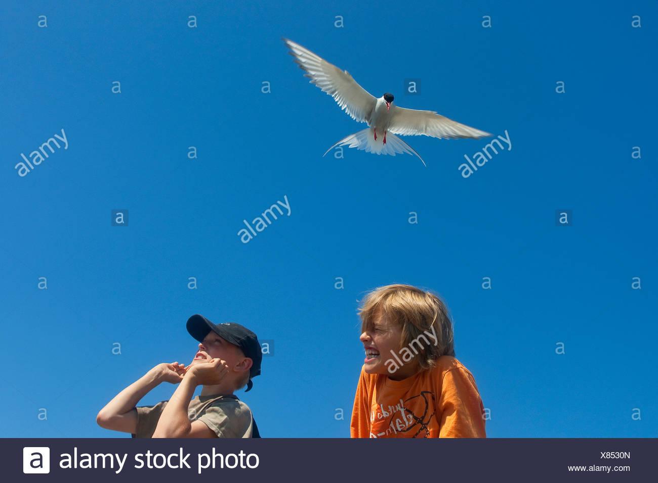arctic tern (Sterna paradisaea), attacking children, Germany - Stock Image