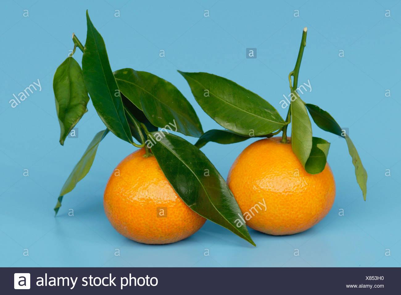 Tangerines Citrus reticulata Stock Photo