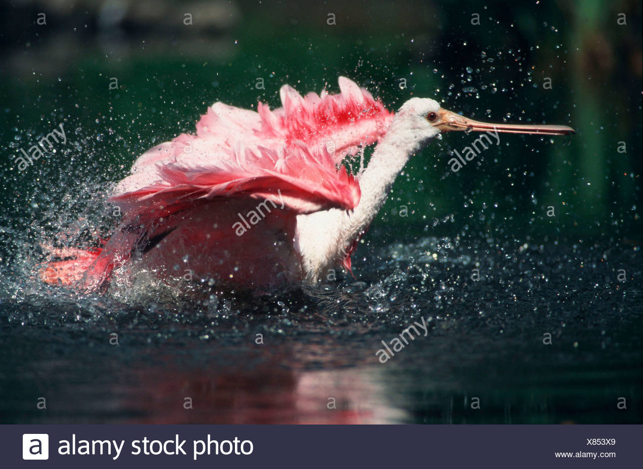 Roseate Spoonbill, bathing (Ajaja ajaja) Stock Photo
