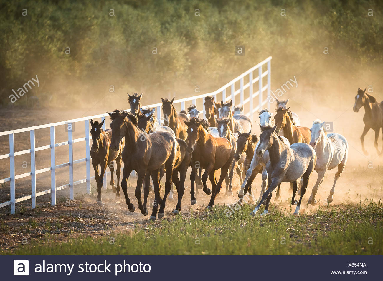 Pure Spanish Horse, Andalusian. Herd of juvenile stallions galloping on dry ground. Spain - Stock Image