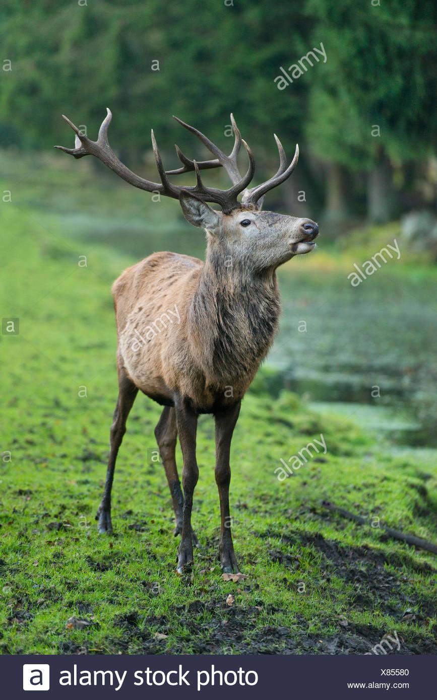 Red Deer (Cervus elaphus), stag, captive, Lower Saxony, Germany - Stock Image
